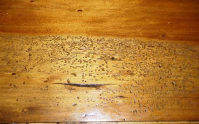 biologicheskie vrediteli drevesini 4 e1468951227860